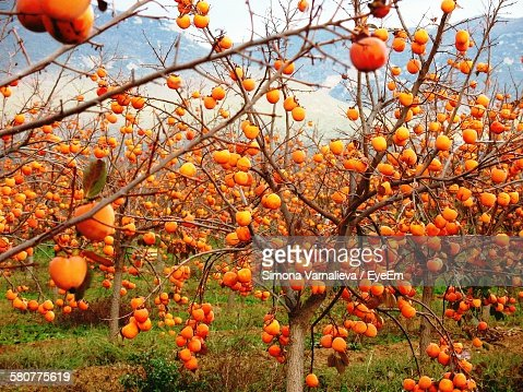 Persimmon tree stock photos and pictures getty images - Planting fruit trees in autumn ...