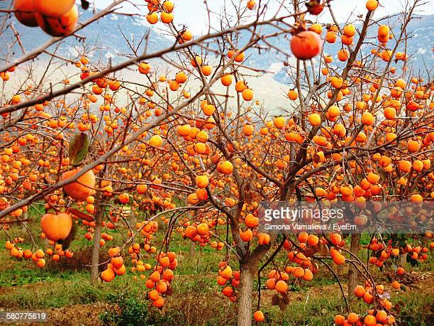 Persimmon Fruits Growing On Tree