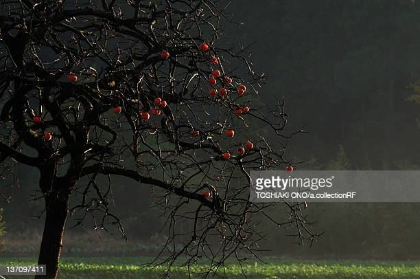 Persimmon tree, Chiba Prefecture, Japan