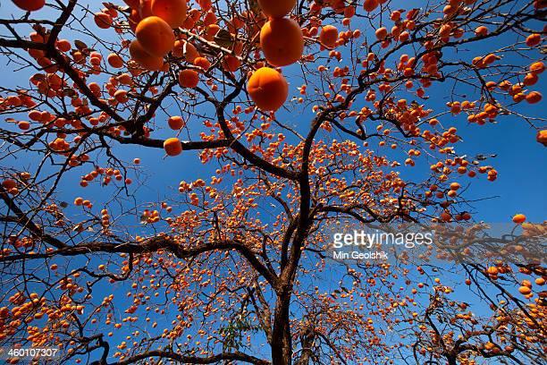 Persimmon tree Korea