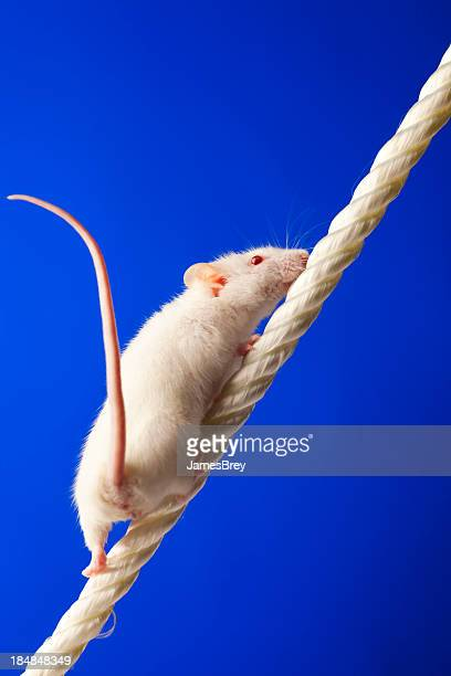 Persistent White Mouse Climbing Toward Success
