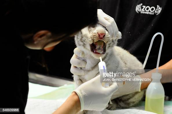 A person checks one of the three newborn white tigers during weighing embeding of computer chip deworming and auscultation at the zoological park of...