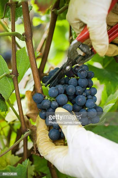 Person cutting grapes off vine, cropped view of hands