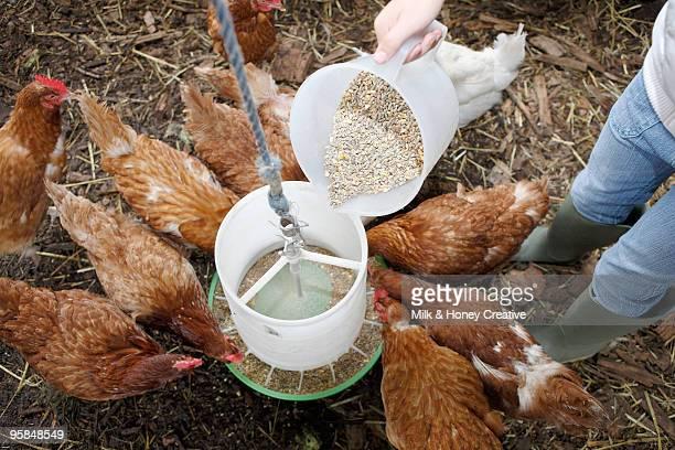 person feeding chickens