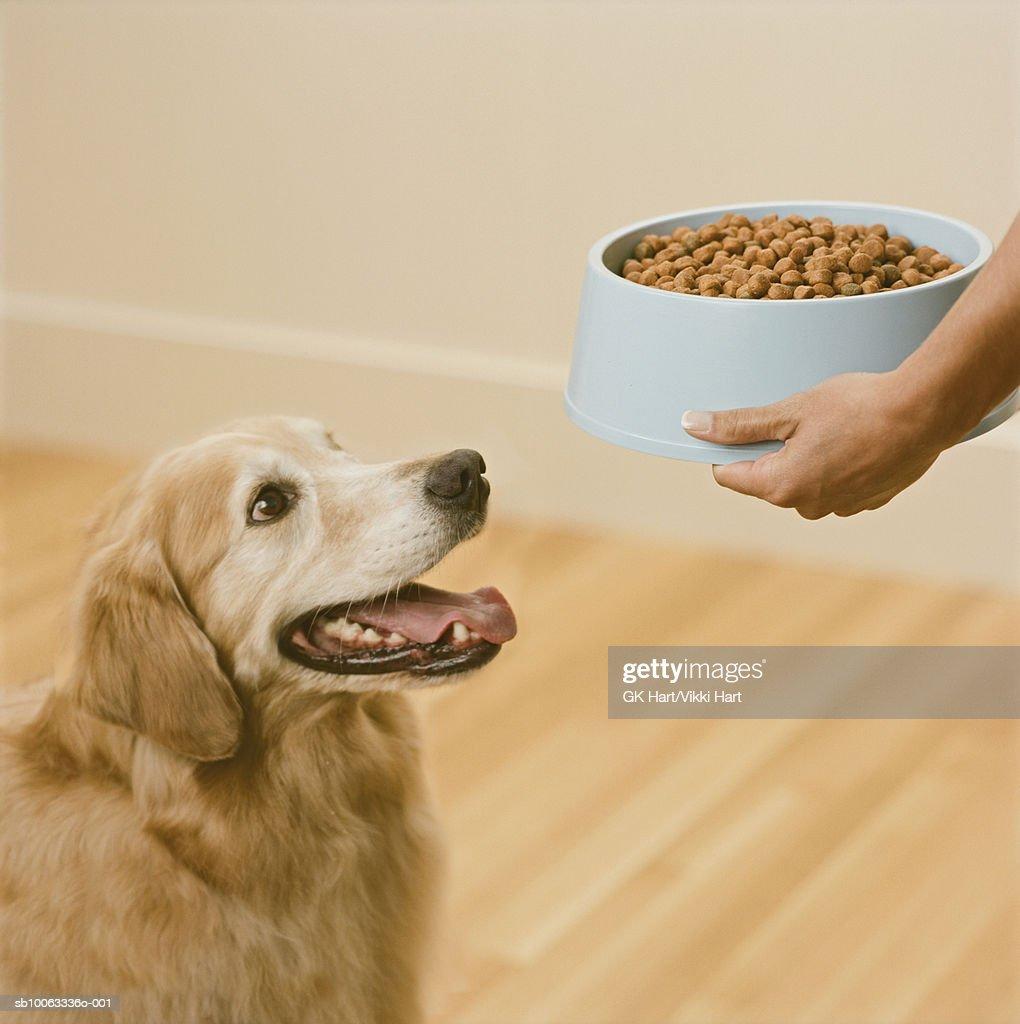 Person feeding Golden Retriever