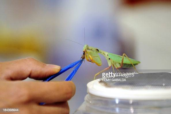 A person feeds a praying mantis with a cricket at the Micropolis museum dedicated to insects on August 27 2013 in SaintLeons southeastern France AFP...