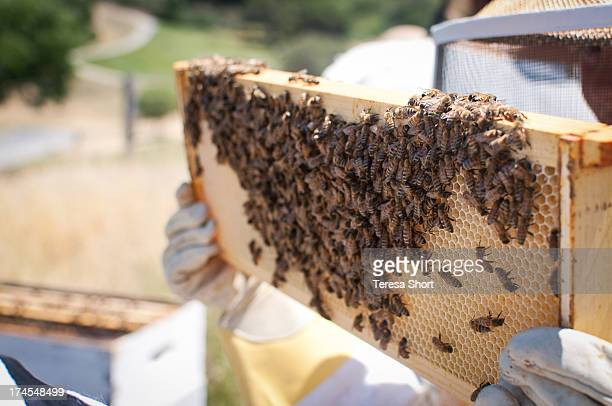 Person Holding Beehive Frame with Bees