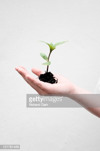 Person holding seedling : Stock Photo