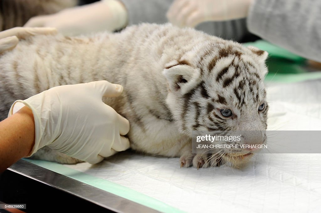 A person holds one of the three newborn white tigers during weighing embeding of computer chip deworming and auscultation at the zoological park of...