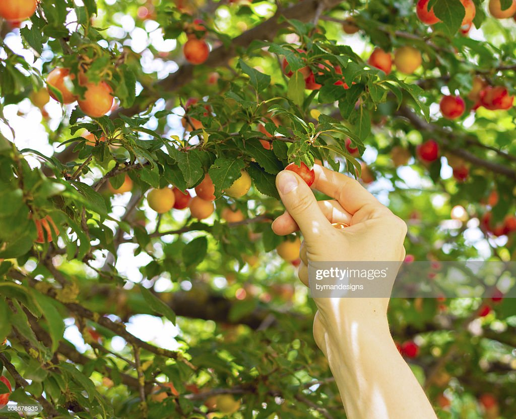 person picking red mirabelle fruit : Stock Photo