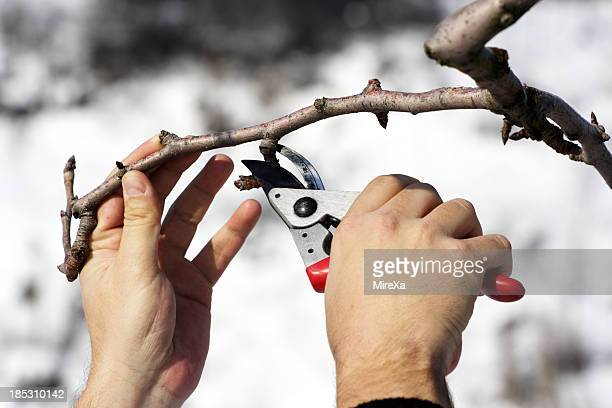 Person pruning a tree with red clippers