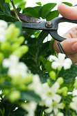Person pruning jasmine plant, cropped