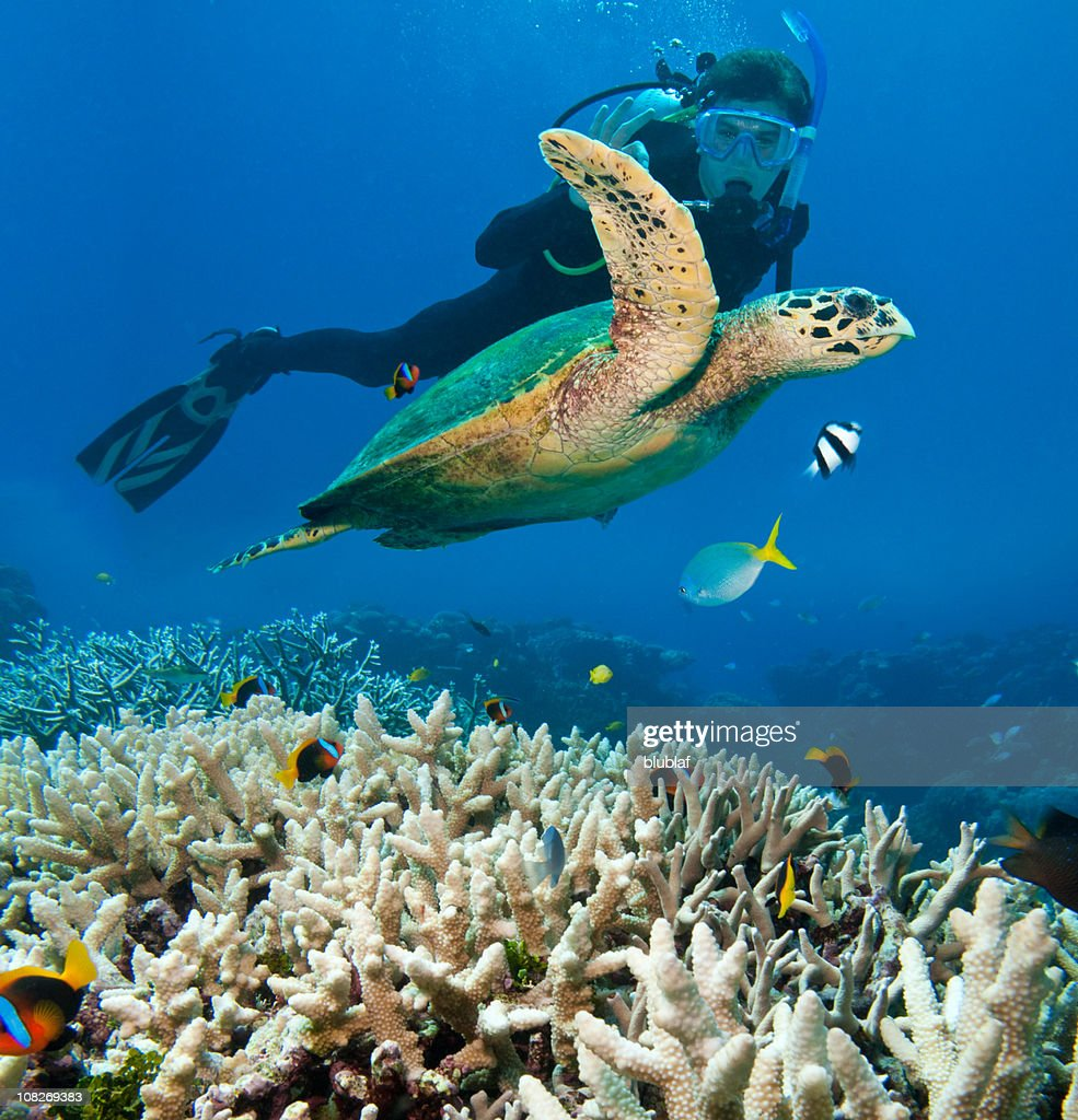 Person Scuba Diving Near Sea Turtle, Great Barrier Reef : Stock Photo