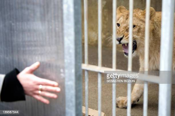 A person stretches a hand on February 23 towards a female lion in a cage at the Mulhouse zoo eastern France Two female lions from Mulhouse will be...
