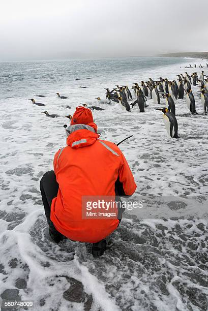 Person taking pictures of a small colony of King Penguins on a beach in South Georgia.