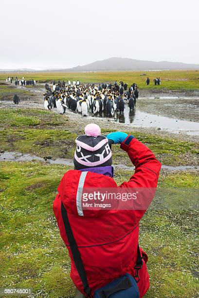 Person taking pictures of a small colony of King Penguins on South Georgia.