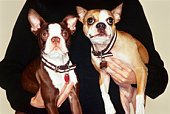 Person with Boston terriers