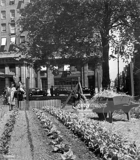June 1947 A Ministry of Agriculture allotment in Hyde Park London opposite Grosvenor House with a young woman demonstrating covering strawberries...