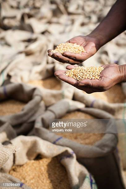 Person's hands holding wheat grains, Anaj Mandi, Sohna, Gurgaon, Haryana, India