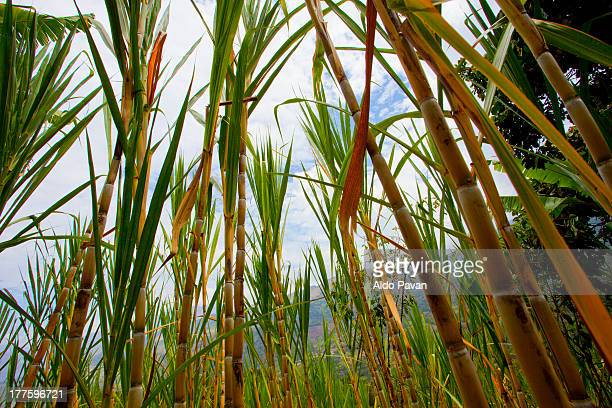 Peru, Jilili, Sicchez, sugarcane