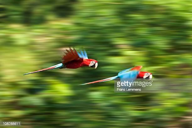 Peru, Manu, Red and Green Macaws flying