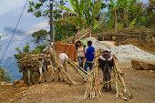 Peru, Montero, transporting sugarcane by donkey