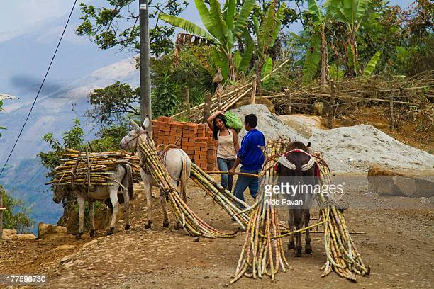 Peru, Montero, transporting sugarcane by donkey