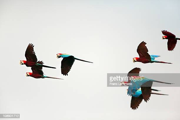 Peru, Red and Green Macaws flying