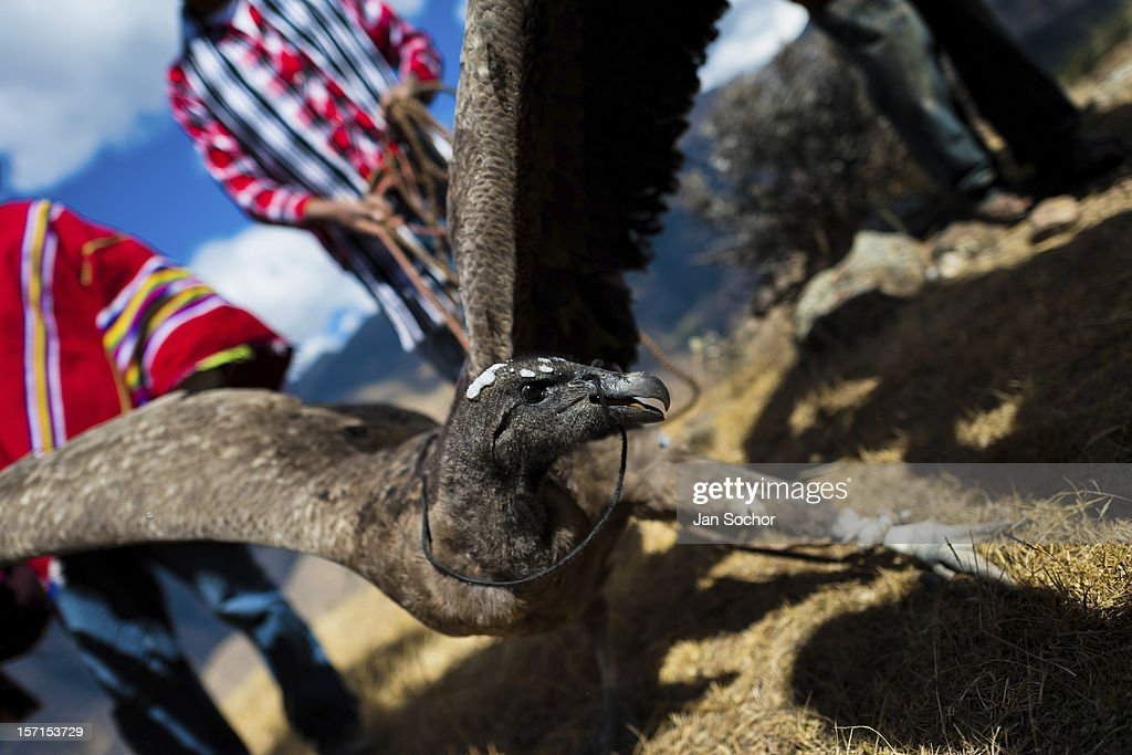 Peruvian Indians show a captured Andean condor before the Yawar Fiesta, a ritual fight between the condor and the bull, held in the mountains of Apurímac on 28 July 2012 in Cotabambas, Peru. The Yawar Fiesta (Feast of Blood), an indigenous tradition which dates back to the time of the conquest, consists basically of an extraordinary bullfight in which three protagonists take part - a wild condor, a wild bull and brave young men of the neighboring communities. The captured condor, a sacred bird venerated by the Indians, is tied in the back of the bull which is carefully selected for its strength and pugnacity. A condor symbolizes the native inhabitants of the Andes, while a bull symbolically represents the Spanish invaders. Young boys, chasing the fighting animals, wish to show their courage in front of the community. However, the Indians usually do not allow the animals to fight for a long time because death or harm of the condor is interpreted as a sign of misfortune to the community.