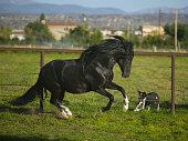 Peruvian Paso Stallion Running from Dog