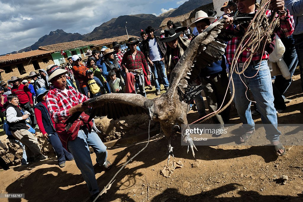 Peruvian peasants lead a captured Andean condor to celebrate the Yawar Fiesta, a ritual fight between the condor and the bull, held in the mountains of Apurímac, on 28 July 2012 in Cotabambas, Peru. The Yawar Fiesta (Feast of Blood), an indigenous tradition which dates back to the time of the conquest, consists basically of an extraordinary bullfight in which three protagonists take part - a wild condor, a wild bull and brave young men of the neighboring communities. The captured condor, a sacred bird venerated by the Indians, is tied in the back of the bull which is carefully selected for its strength and pugnacity. A condor symbolizes the native inhabitants of the Andes, while a bull symbolically represents the Spanish invaders. Young boys, chasing the fighting animals, wish to show their courage in front of the community. However, the Indians usually do not allow the animals to fight for a long time because death or harm of the condor is interpreted as a sign of misfortune to the community.