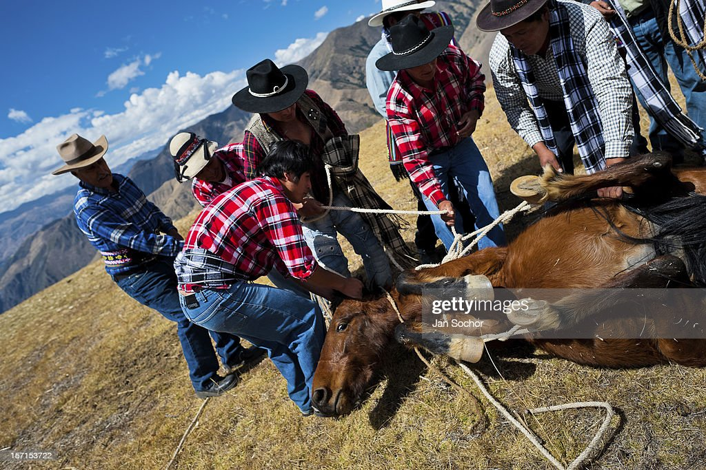 Peruvian peasants tie up a horse during a ceremony prior to the Yawar Fiesta, a ritual fight between the condor and the bull, held in the mountains of Apurímac on 28 July 2012 in Cotabambas, Peru. The Yawar Fiesta (Feast of Blood), an indigenous tradition which dates back to the time of the conquest, consists basically of an extraordinary bullfight in which three protagonists take part - a wild condor, a wild bull and brave young men of the neighboring communities. The captured condor, a sacred bird venerated by the Indians, is tied in the back of the bull which is carefully selected for its strength and pugnacity. A condor symbolizes the native inhabitants of the Andes, while a bull symbolically represents the Spanish invaders. Young boys, chasing the fighting animals, wish to show their courage in front of the community. However, the Indians usually do not allow the animals to fight for a long time because death or harm of the condor is interpreted as a sign of misfortune to the community.