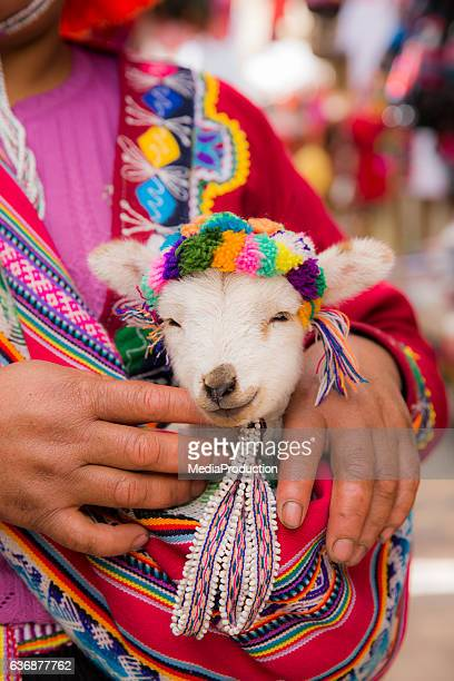 Peruvian woman in traditional clothes holding a baby llama