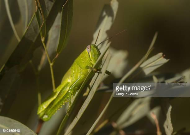 Pest: Green Locust Eating a Gum Leaf
