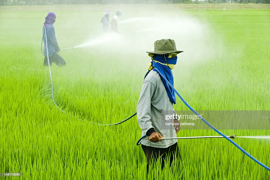 Pesticide in rice field : Stock Photo
