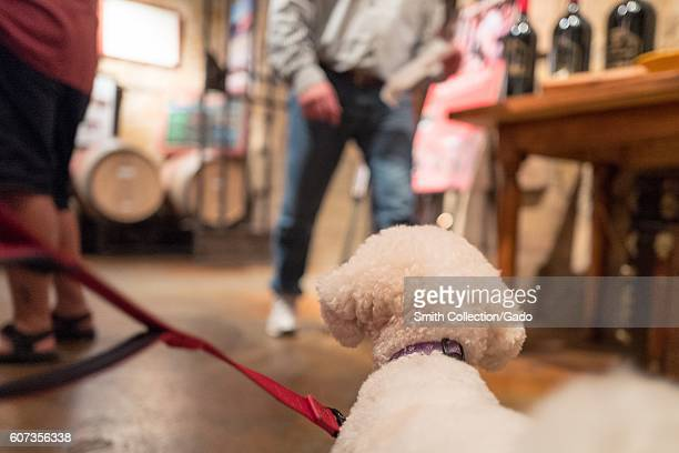 A pet bichon frise dog watches guests taste wine in the tasting room at V Sattui Winery in Napa Valley wine country Saint Helena Napa Valley...
