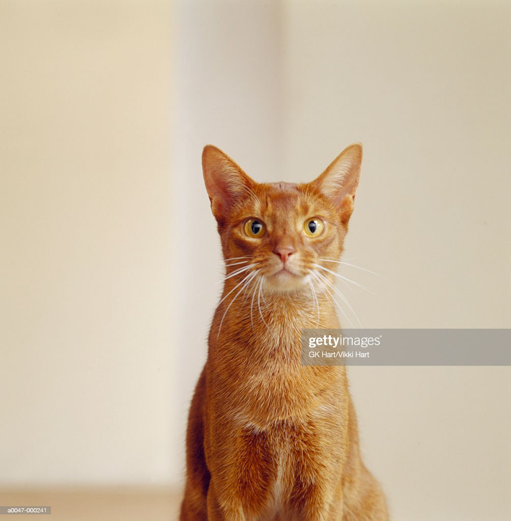 Pet Cat : Stock Photo