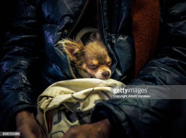 Pet chihuahua riding a bus in Manhattan
