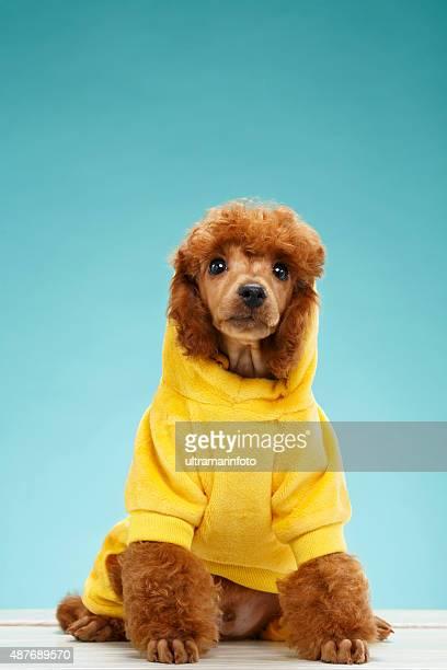 ペットの服ファッションに美しいミニアチュア子犬犬 NOT プードル」)
