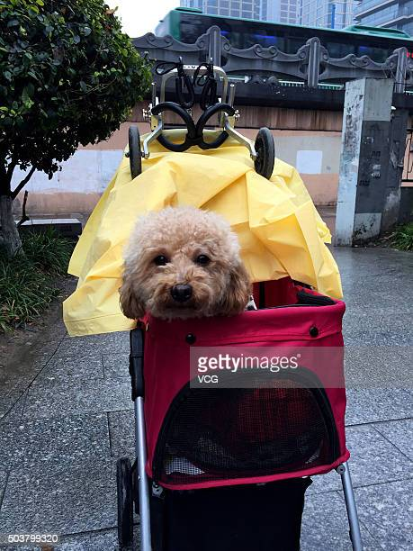 A pet dog and its purposemade wheels are seen on January 6 2016 in Hangzhou Zhejiang Province of China The host spent over 40000 RMB in her dog's...