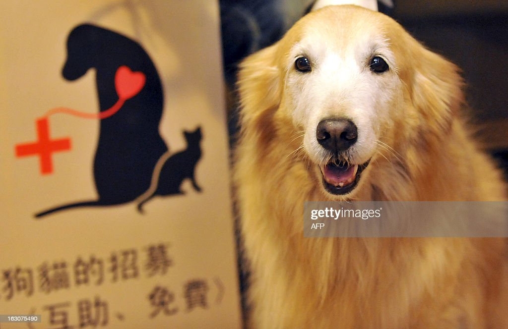A pet dog attends a press conference in Taipei on March 4, 2013. A local animal friendly group will hold the first session of the pet SING TO U concert on March 17, 2013, with the aim to help raise the public's awareness of animal rights and establish pet blood donation database . AFP PHOTO / Mandy CHENG
