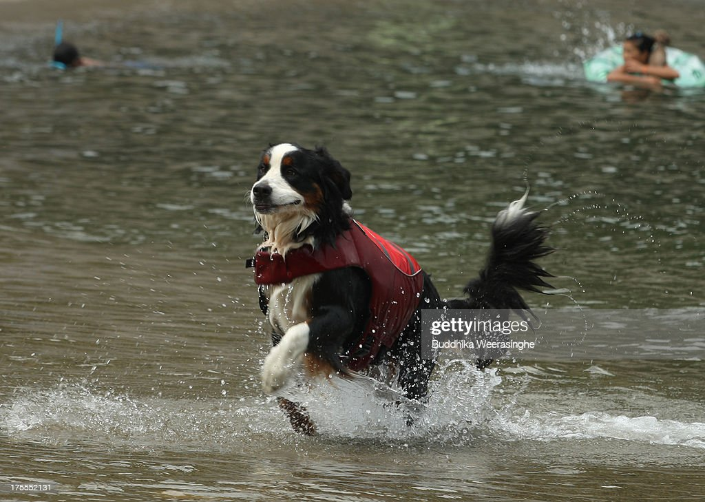 A pet dog runs at Takeno Beach on August 4, 2013 in Toyooka, Japan. This beach is open for dogs and their owners every summer between the months of June and September. .
