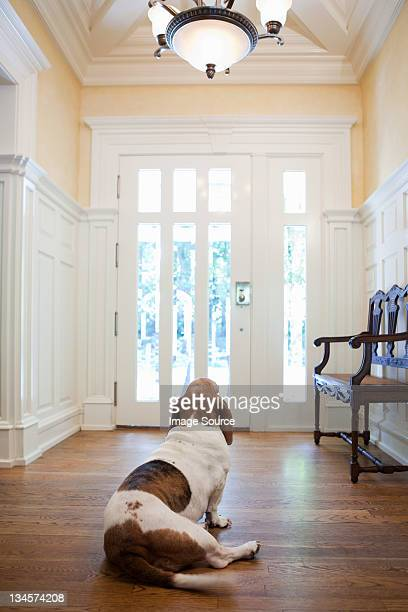 Pet dog waiting in hallway of house