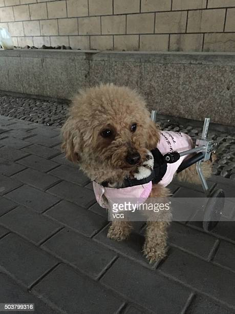 A pet dog walks with a purposemade wheels after the operation of spinal disc herniation on January 6 2016 in Hangzhou Zhejiang Province of China The...