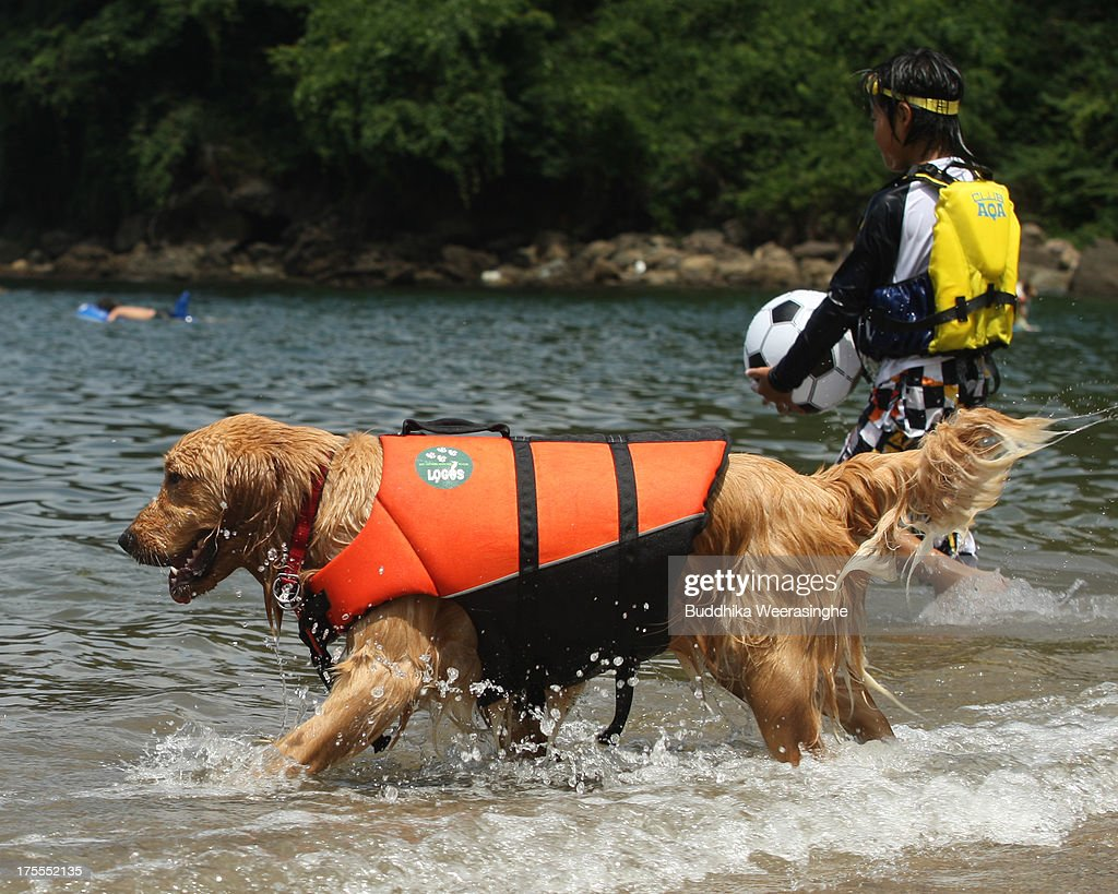 A pet dog wears life jacket and bathes in the water at Takeno Beach on August 4, 2013 in Toyooka, Japan. This beach is open for dogs and their owners every summer between the months of June and September. .