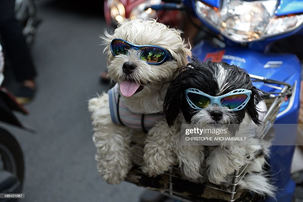 Pet dogs with sunglasses sit in the front basket of a motorcycle as people commute on a main road in Bangkok on June 3, 2014. AFP PHOTO/Christophe ARCHAMBAULT