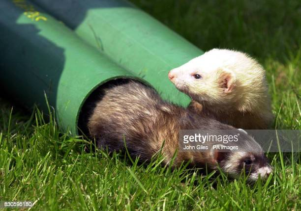 Pet ferrets at the Sheffield home of Steve Burley Mr Burley devised an assault course and fitness regime for his ferrets who were starved of exercise...