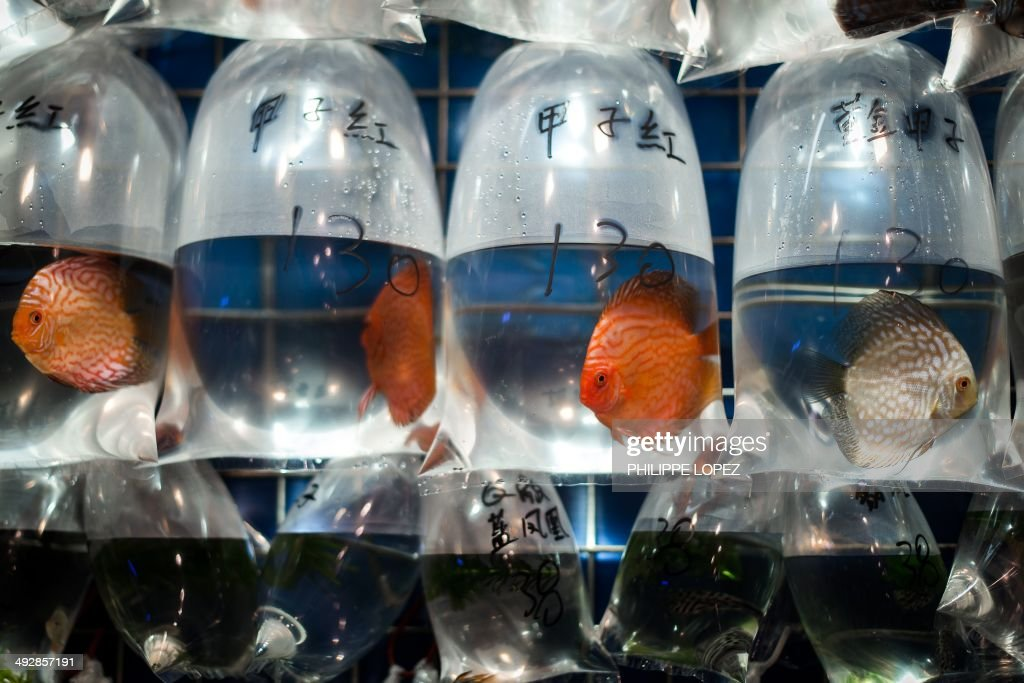 Pet fish are displayed in plastic bags with their respective price tags in Hong Kong on May 22, 2014. Keeping fish is very popular in the densely populated city in as animal lovers seek out less space-hungry pets. AFP PHOTO / Philippe Lopez