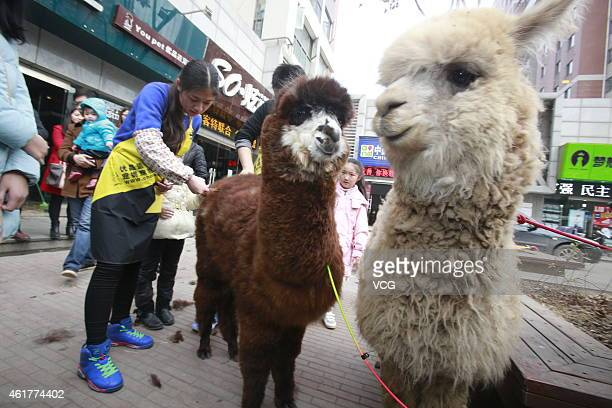 Pet groomers clean alpacas in Wuchang on January 19 2015 in Wuhan Hubei province of China Five alpacas arrived from Australia to south China's Wuhan...