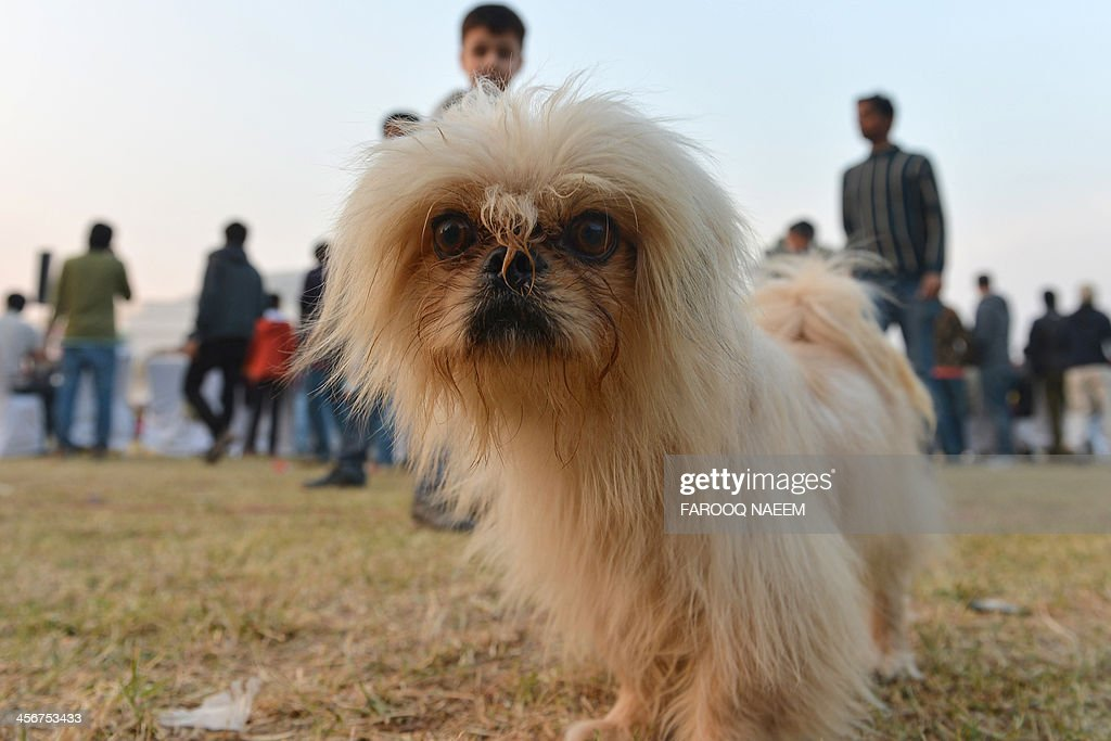 A pet looks on at a dog show held during a lifestyle exhibition in Islamabad on December 15, 2013. The two-day exhibition is being held at the Jinnah Convention Centre. AFP PHOTO/Farooq NAEEM